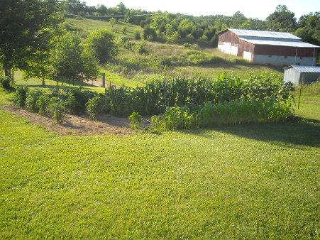 garden, home garden, corn, tomatoes, zucinnie, cucumbers