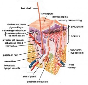 sweat gland diagram, hair folicle diagram, poral occlusion, cholinergic urticaria, hives